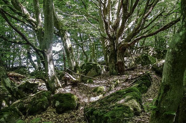 Knorriger Wald