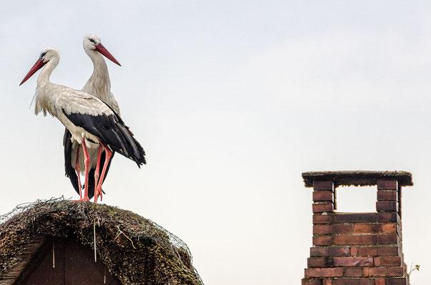 Störche auf dem Dach bringen Glück