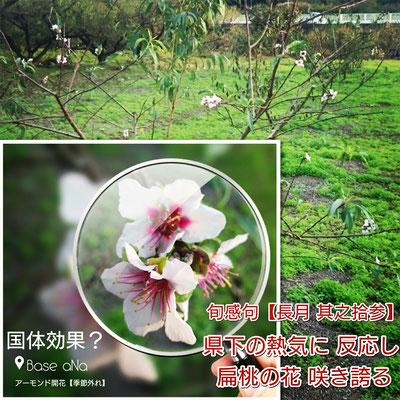 旬感句【秋分】 県下の熱気に 反応し 扁桃の花 咲き誇る