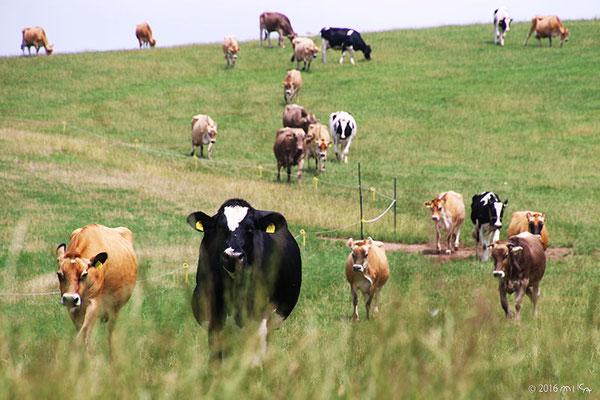 牛の放牧(美瑛放牧酪農場)