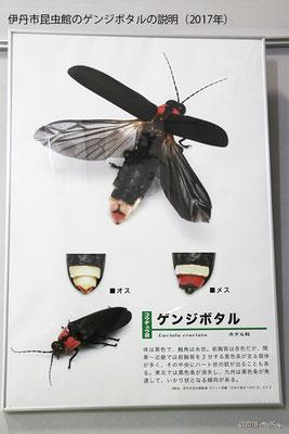 ゲンジボタルの説明(伊丹市昆虫館)