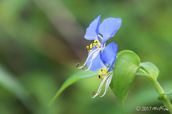 ツユクサの雄花と両性花(横)