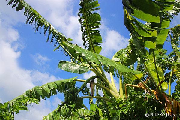バナナの茎と葉