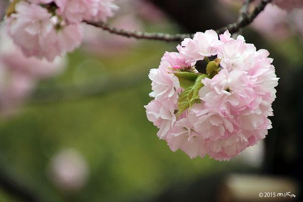 紅手鞠(べにてまり)平成13年の「今年の花」/造幣局桜の通り抜け