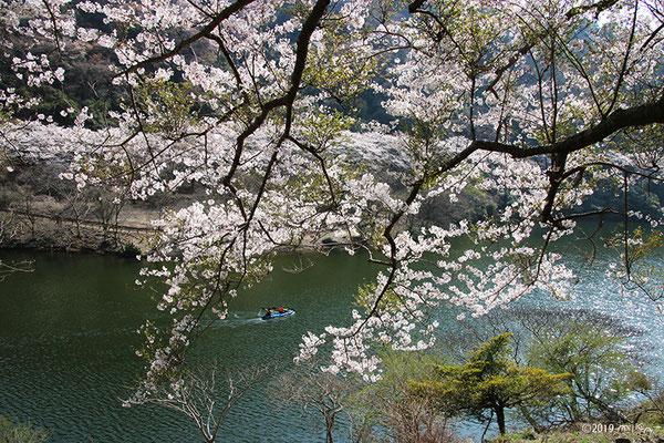 カヌーでお花見①(諭鶴羽ダム)