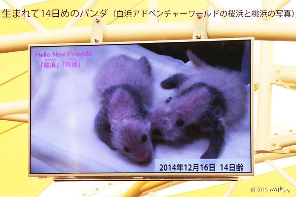 生後14日めのパンダの赤ちゃん(白浜アドベンチャーワールド)2014年