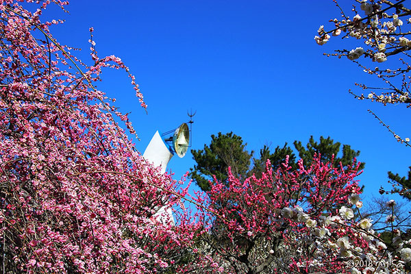 太陽の塔と梅園(万博記念公園梅まつり)