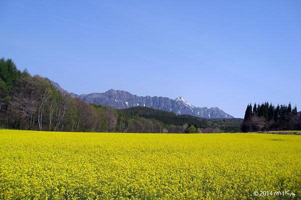 アルプスと菜の花畑(長野県戸隠のそば畑の春)