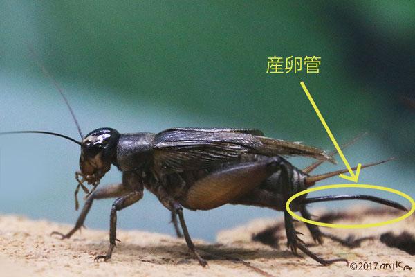 エンマコオロギのメス