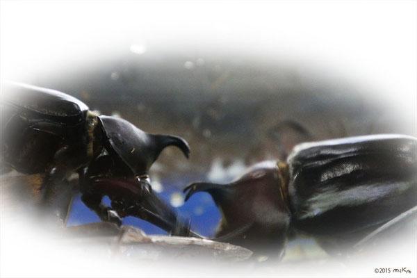 カブトムシのオス同士のあらそい