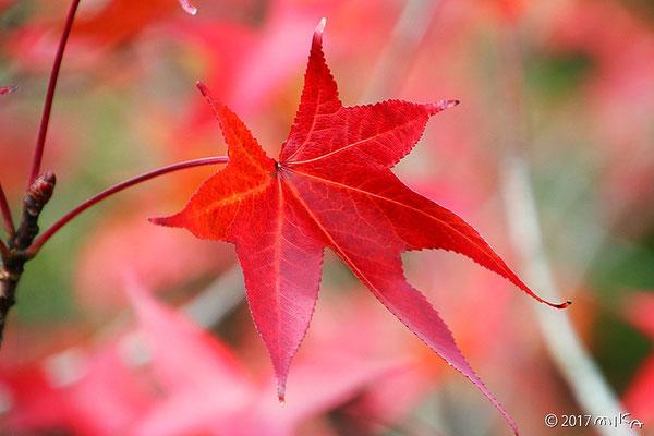 紅葉したモミジバフウの葉