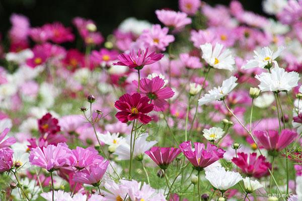 シーシェルの花畑