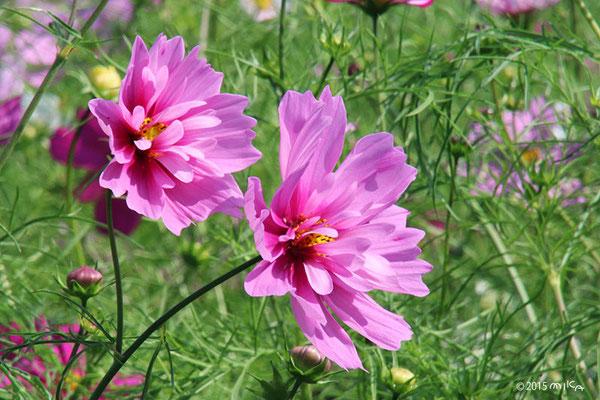 八重咲きのコスモス
