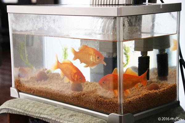 1年後の金魚の水槽(横幅41cm程度)