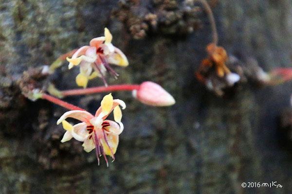 カカオの花①
