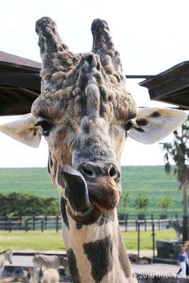 キリンの長い舌③(白浜アドベンチャーワールド)