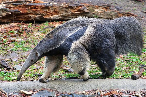 歩いているオオアリクイ(東山動物園)
