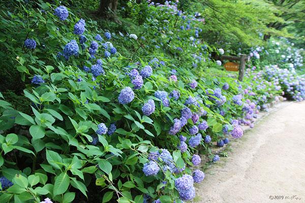 あじさい坂(神戸市立森林植物園)