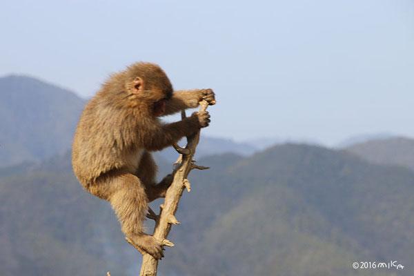高い木に登って遊んでいるニホンザル