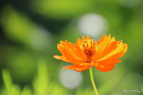 キバナコスモス(オレンジ)