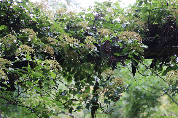 ツルアジサイの木