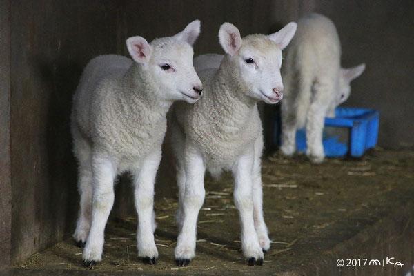 子羊2頭③