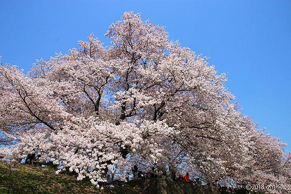 桜の大木(背割堤)