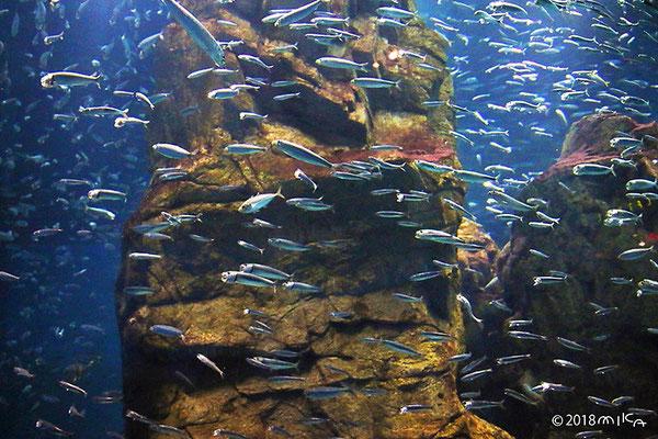 イワシの水槽(チリの岩礁地帯/海遊館)
