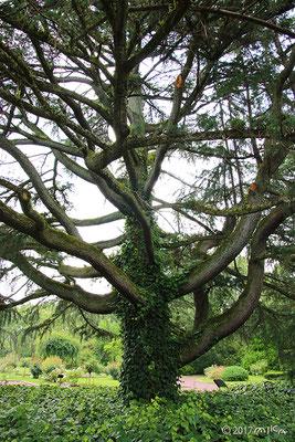 ヒマラヤスギの枝(水平に広がる)