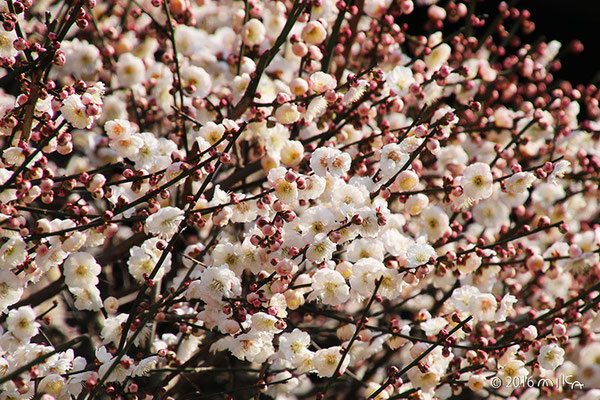 満開の梅(法住寺)