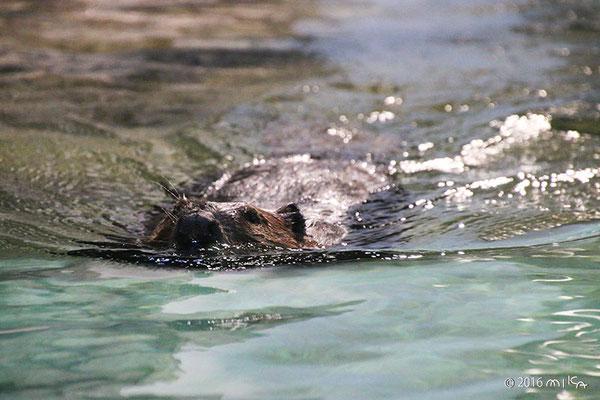 アメリカビーバー(スイスイ泳ぐ)ニフレル