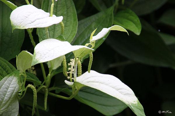 ハンゲショウ(白く色づいた三枚の葉)