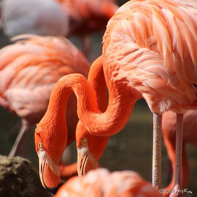 ベニイロフラミンゴ(神戸市立王子動物園)