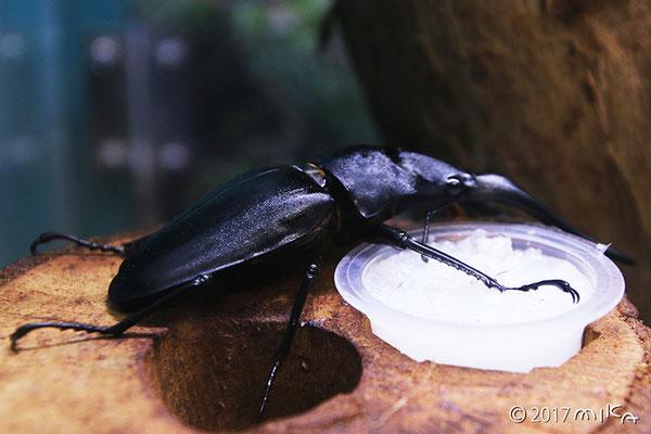 ギラファノコギリクワガタ(伊丹市昆虫館)
