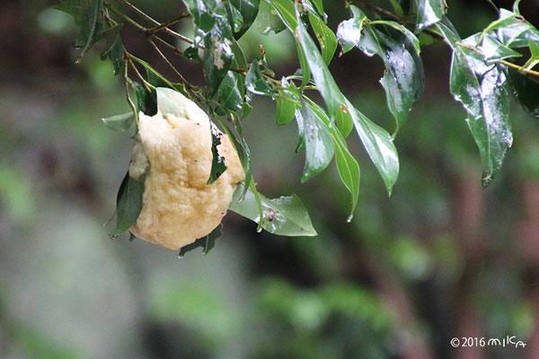モリアオガエルのたまご(神戸市立森林植物園)②
