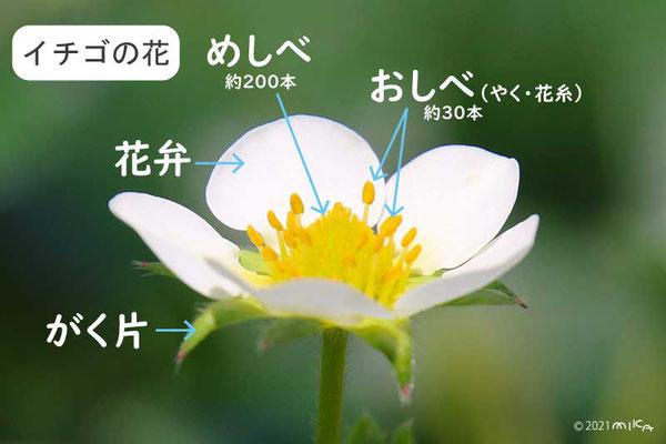 イチゴの花の説明