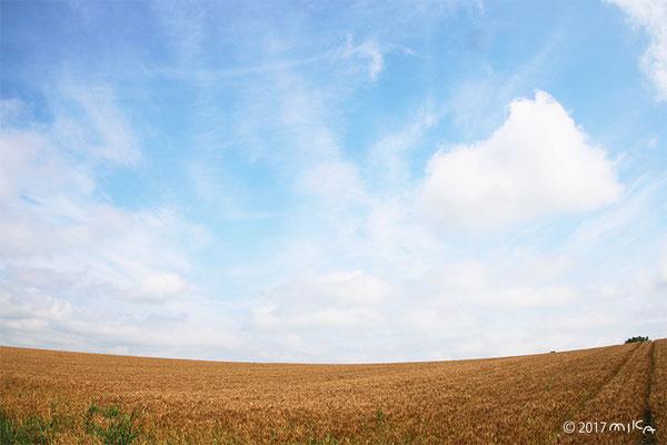 収穫前の麦畑(北海道美瑛)①