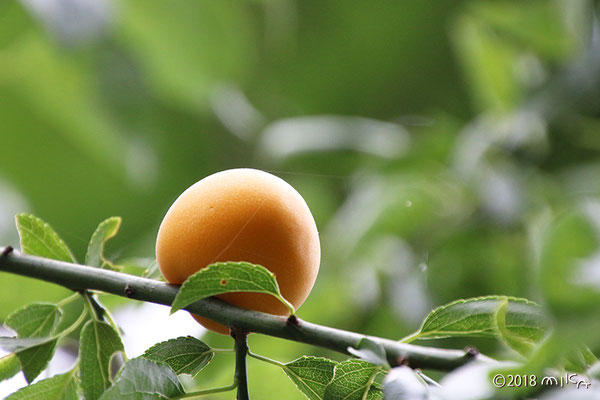 オレンジ色に熟した梅の実
