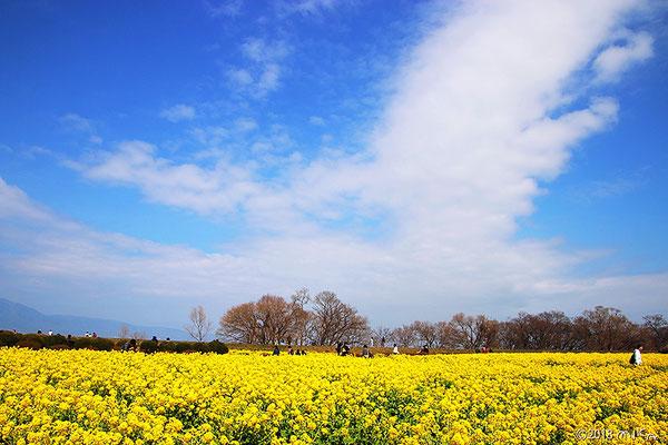 第一なぎさ公園の菜の花畑①(2018年3月4日)