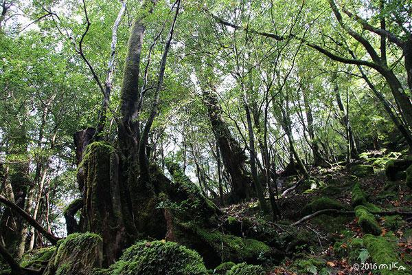 苔むす森(白谷雲水峡/屋久島)②
