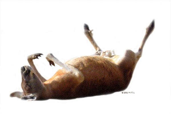 カンガルーが大の字で寝ているところ