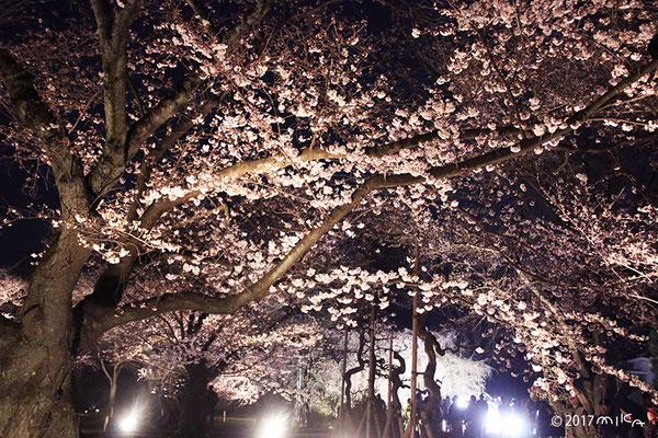 二条城の夜桜(咲きはじめ)緑の園付近