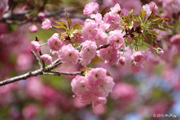 松月(しょうげつ)平成19年の「今年の花」/造幣局桜の通り抜け