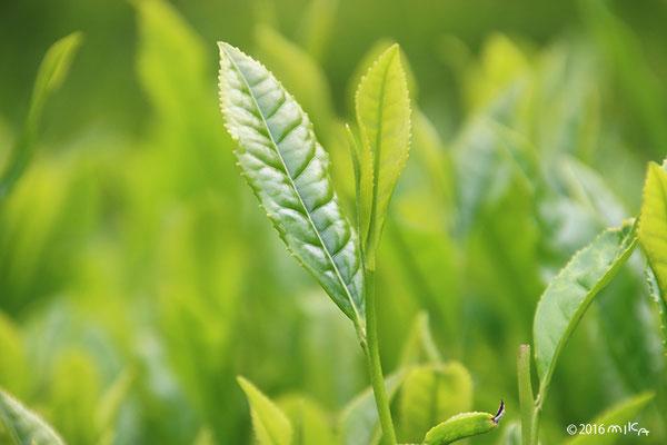 茶畑(5月)