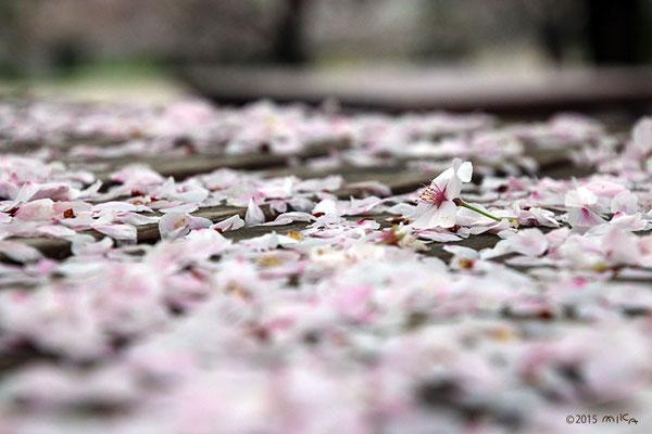 ベンチに散ったさくらの花びら