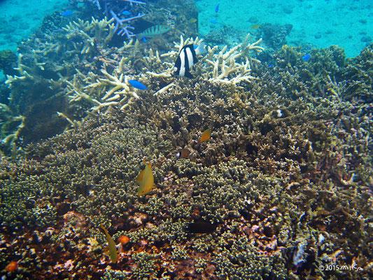 サンゴと魚(池間島)
