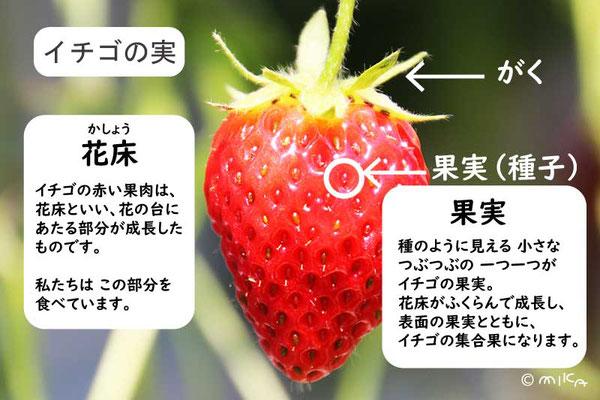 イチゴの果実の説明