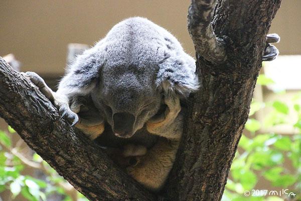 ねむっているコアラ(東山動物園)
