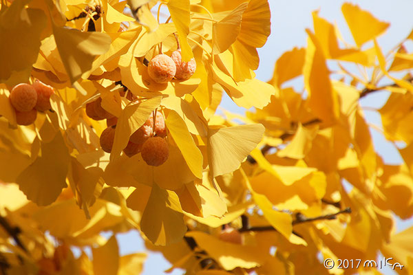 イチョウの黄色い葉とギンナン