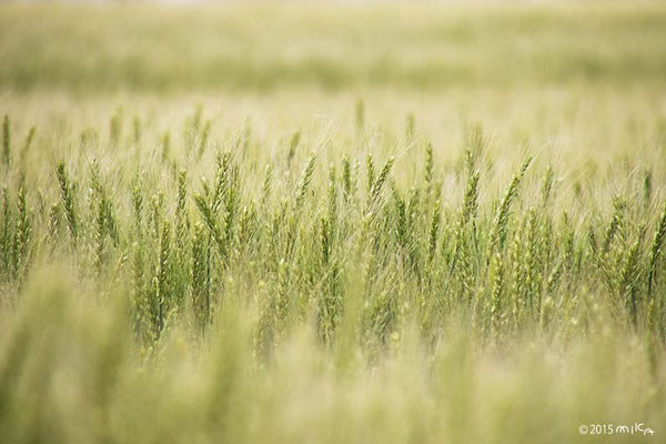 麦畑(小麦)